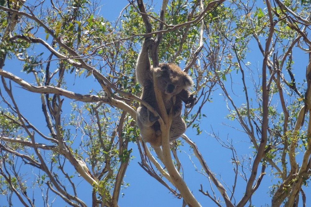 great ocean road koalas