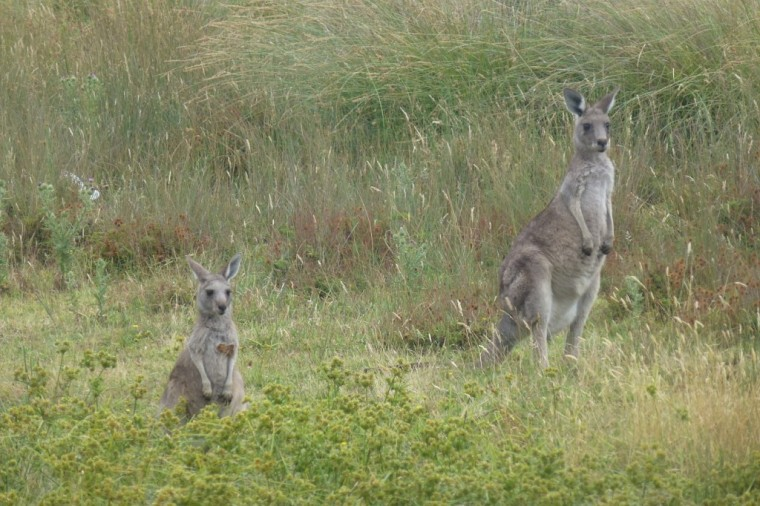 Känguru am Campingplatz in Halls Gap Australien