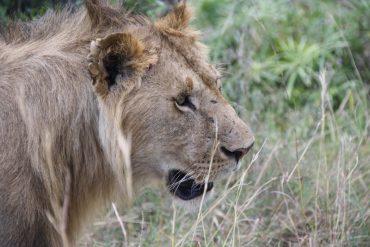 löwe in Afrika