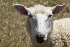 Neuseeland und Schafe